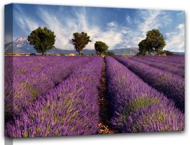 Schilderij Lavender 60x80